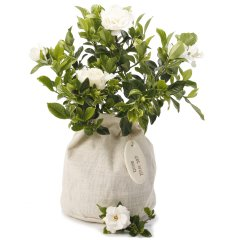 fragrant gardenia gift loved for their wonderful perfume gardenias are hard to resist gardenias are small evergreen shrub that produce pearlwhite blooms with a heavenly perfumeour g. Please Click the image for more information.