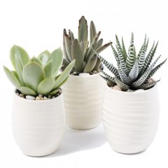 luna succulent trio assorted succulents planted up in our signature hand made ceramic luna pots these are perfect desk plants or centerpieces grouped on a table ideal for corporate giftsinc. Please Click the image for more information.