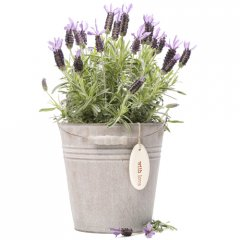 lavender provencal pail give a gift of fragrant lavender symbol of devotion purity and luck the lavender plants are looking fabulous in full bloom and are the perfect container plant for the patioincluded in gift1 lavender plant presented in provencal tin pail 1 hand made ceramic pebble or tag hand written gift card  care instructionsceramics hand made for Growing Giftsselect 1 pebbletag from handmade pebbles and add to your cart Please Click the image for more information.