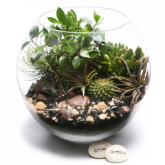 X large potbelly fig bonsai terrarium a bonsai is a gift of life giving years of enjoyment a relative of the giant banyan tree the potbelly fig is used in feng shui planning placed indoors in strategic areas B. Please Click the image for more information.