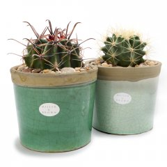 medium cacti crackle pot sculptural cacti planted in beautiful iconic pots with a cracked glaze available in subtle hues suitable for  indoors or outside . Please Click the image for more information.
