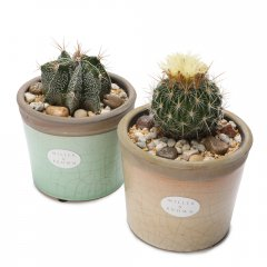 small pair crackle cacti pots sculptural cacti planted in beautiful iconic pots with a cracked glaze available in subtle hues suitable for  indoors or outside . Please Click the image for more information.