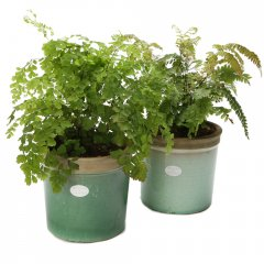large indoor fern plant our popular fern plants are characterized by graceful fronds of fresh green leaflets the new growth is often bronze or pink . Please Click the image for more information.