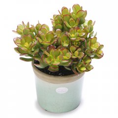 lucky money tree crackle pot the money tree is a popular plant used in feng shui planning the leaves are thick and coin like and if growing well symbolize wealth coming into the businessinc. Please Click the image for more information.