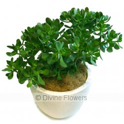 Jade Crassula Ovata  Priced from $ 65  Click for more details