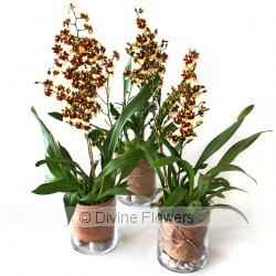 Orchid Plant Oncidium  Priced from $ 88  Click for more details